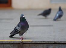 Urban pigeon Stock Image