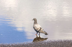 An urban pigeon reflecting in  water Stock Photo