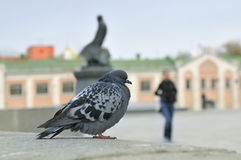 Urban pigeon sitting on a stone parapet. Royalty Free Stock Photography