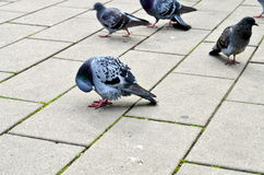 Urban pigeon walking on the street Royalty Free Stock Image