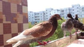 Urban pigeons. On balcony stock footage