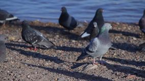 Urban pigeons on the beach. Full HD Resolution 1920x1080 Video Frame Rate 29.97 Length 0:15 stock video