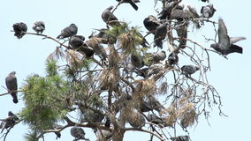 Urban Pigeons. Large number of pigeons occupied the branches of pine trees. Slow Motion at a rate of 240 fps stock video footage