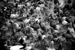 Urban pigeons monochrome shallow depth of field Royalty Free Stock Images