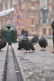 Urban Pigeons. Several pigeons at town square Royalty Free Stock Photos