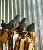 Pigeons are sitting on a pile of garbage from cardboard boxes stock images