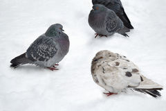 Urban pigeons on snow. Royalty Free Stock Image