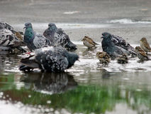 Urban pigeons and sparrows. The warm gray pigeons and sparrows urban puddle in Stock Images