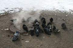 Urban pigeons warm in the winter next to the manhole stock images