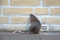 Urban rat. A rat  against a brick wall, looking and standing up. The picture shows a real rat, not a mouse, like most pictures do Royalty Free Stock Photography