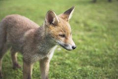 Urban red fox cub Royalty Free Stock Images