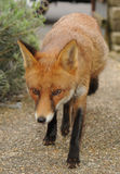 An urban red fox on the prowl Royalty Free Stock Photo