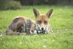 Urban red fox Royalty Free Stock Photos