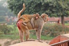 Urban rhesus macaque monkeys Royalty Free Stock Photos