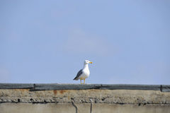 Urban seagull Stock Photos