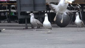 Urban seagull stealing a piece of bread on the street, wild birds in the city. Stock footage stock video