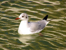 Urban seagull swimming on water Royalty Free Stock Photography