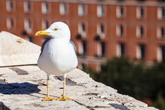 Urban seagull on wall of Castle St Angel in Rome Royalty Free Stock Image