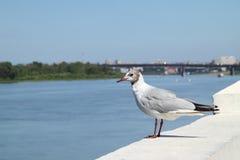 Urban Seagull. A young Seagull walks along the promenade Stock Photos