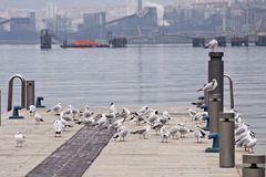 Urban seagulls on a pier with blurred industrial installations o Stock Image
