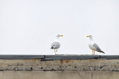 Urban seagulls Stock Images