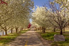 Blooming crab apple trees lining bike path Royalty Free Stock Photography