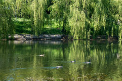 Urban small lake in Minsk at summer sunny day. With ducks Stock Photos