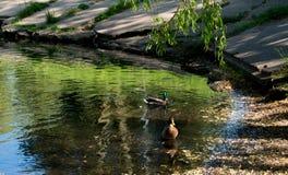 Urban small lake at summer sunny day with ducks.  Royalty Free Stock Photo