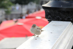 Urban sparrow. Stock Images