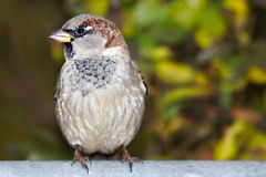 Urban sparrow on a background of green foliage Stock Image