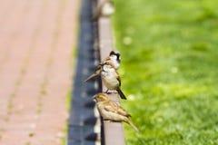 Urban sparrow on bronze fence Stock Photo