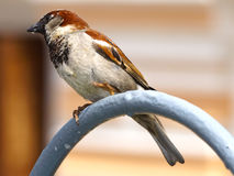 Urban sparrow Stock Images