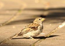 Urban sparrow Stock Photo