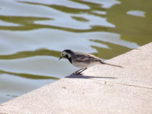 Urban sparrow in a pond shore Royalty Free Stock Image