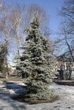 Urban spruce  in the spring sunshine. City fir tree  in the spring sunshine Stock Images