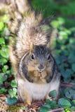 Urban Squirrel Eating Stock Photos