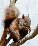 Urban Squirrel Stock Image
