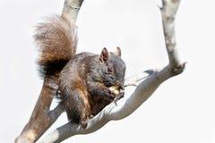 Urban Squirrel Royalty Free Stock Image