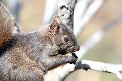 Urban Squirrel Royalty Free Stock Photos