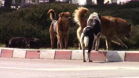 Urban stray dogs stock video
