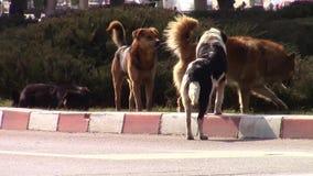 Urban stray dogs stock video