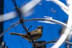 Stripe headed sparrow -Peucaea ruficauda. Urban stripe headed sparrow perched on barbed wire surrounded by razor wire in Costa Rica stock images