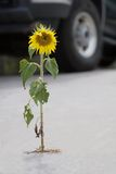 Urban sun. A sunflower in a driveway Stock Photography