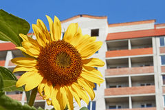 Urban sunflower Royalty Free Stock Photography