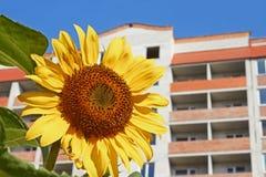 Urban sunflower Royalty Free Stock Photography