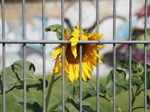 Urban Sunflower Behind Metal Bars and Graffiti Background. Yellow Urban Sunflower Behind Metal Bars and Graffiti Background Royalty Free Stock Image
