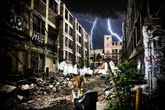 Urban Tiger Apocalypse. A tiger walking through urban ruins in a post-apocalypse like setting royalty free stock images