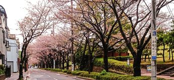 Urban Tokyo park. Cherry blossom road Royalty Free Stock Photo