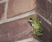 Urban Tree Frog Stock Photo