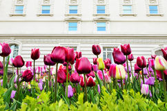 Urban Tulips and Building Stock Photo